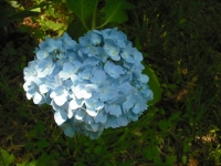 2017-07-08一関市舞川みちのくあじさい園092