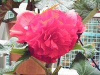 花と泉の公園2017-05-14ベゴニア館265