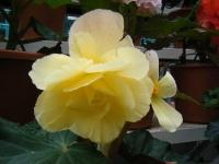 花と泉の公園2017-05-14ベゴニア館254