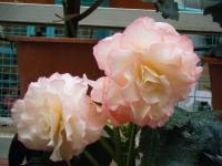 花と泉の公園2017-05-14ベゴニア館264
