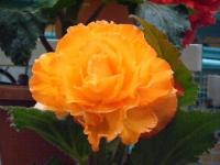 花と泉の公園2017-05-14ベゴニア館262