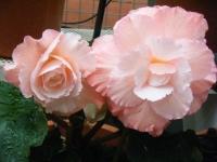 花と泉の公園2017-05-14ベゴニア館260