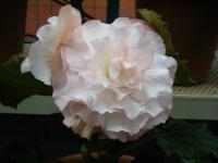 花と泉の公園2017-05-14ベゴニア館258