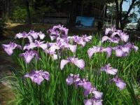 2017-06-24平泉・毛越寺あやめ祭り113