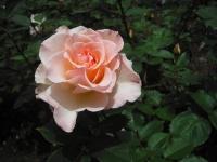 2017-06-11花巻温泉のバラ園159