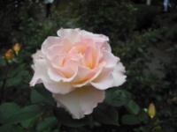 2017-06-11花巻温泉のバラ園158