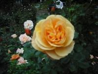 2017-06-11花巻温泉のバラ園157