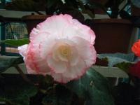 花と泉の公園2017-05-14ベゴニア館273