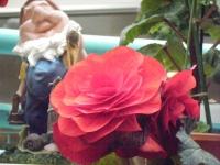 花と泉の公園2017-05-14ベゴニア館266