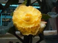 花と泉の公園2017-05-14ベゴニア館279