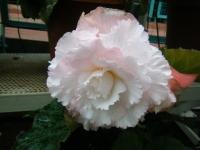 花と泉の公園2017-05-14ベゴニア館274