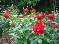 2017-06-11花巻温泉のバラ園181