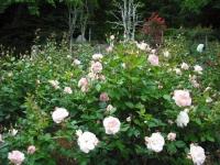 2017-06-11花巻温泉のバラ園177