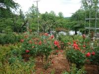 2017-06-11花巻温泉のバラ園188
