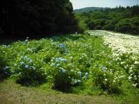 2017-07-08一関市舞川みちのくあじさい園124