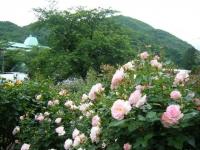 2017-06-11花巻温泉のバラ園203