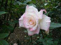 2017-06-11花巻温泉のバラ園208