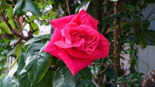 2017のバラ