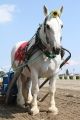 170909 ばん馬イベント ばん馬と綱引き対決-01