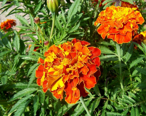 French_marigold.jpg