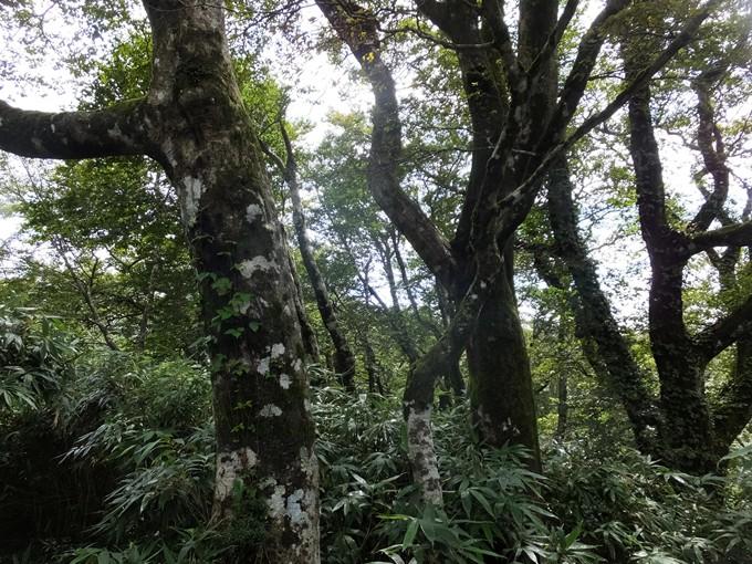 昨年H,28年秋 ブナ林へは、ヤブコギで辿り着く事ができた。