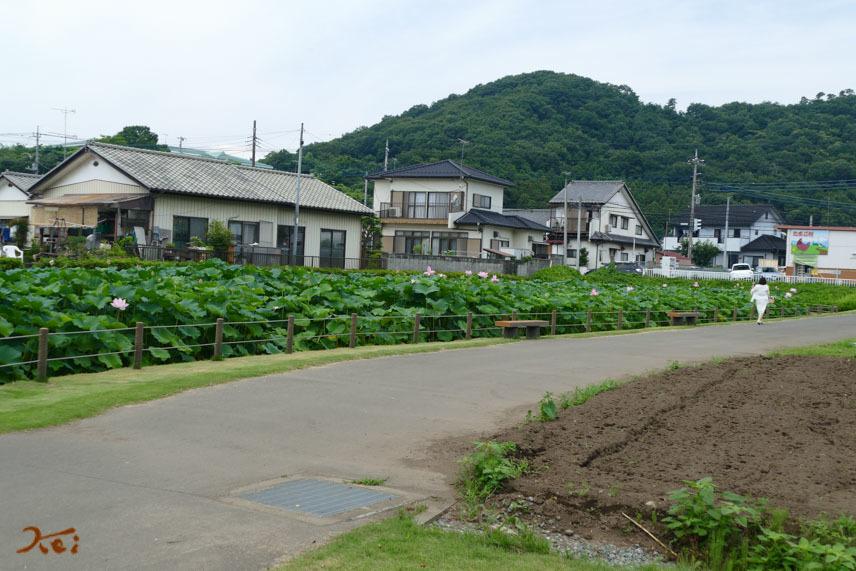 20170717キツネノカミソリ_稲荷山07