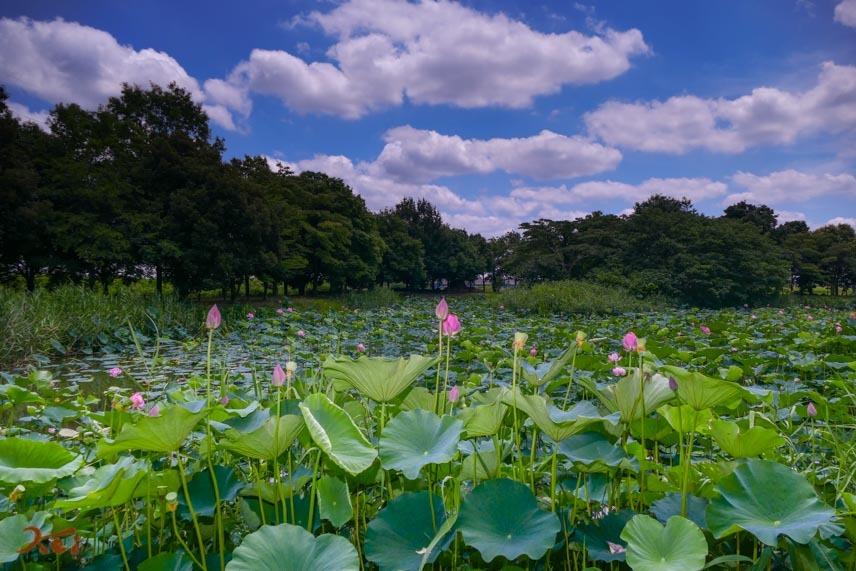 20170711行田蓮_水鳥の池01