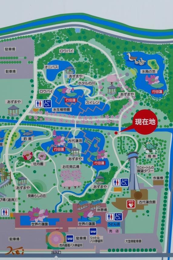 20170711行田蓮_水鳥の池02