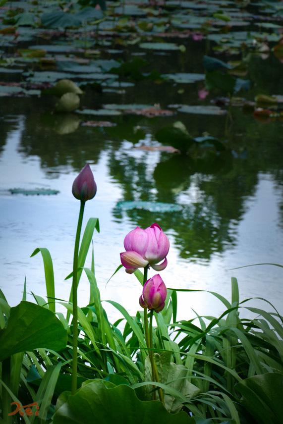 20170711行田蓮_水鳥の池06