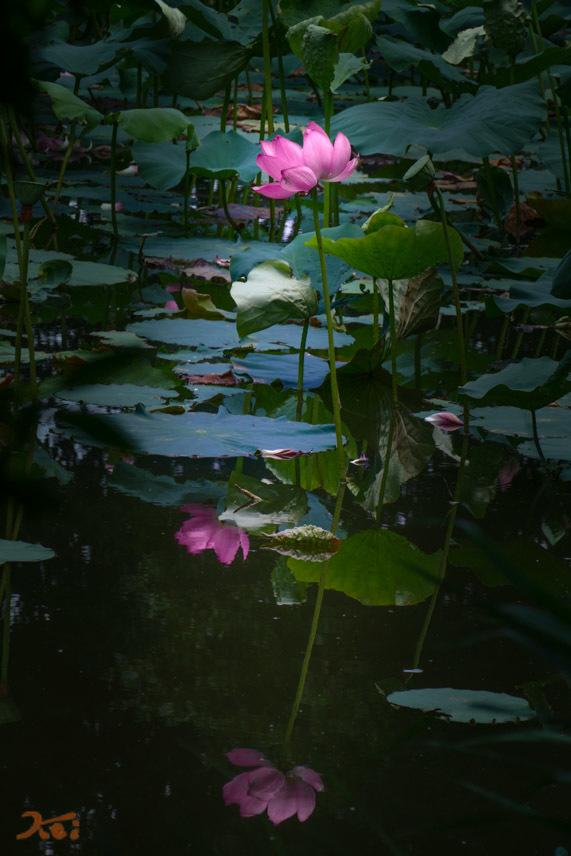 20170711行田蓮_水鳥の池07