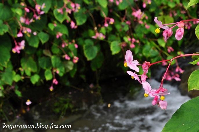 出流ふれあいの森の秋海棠4