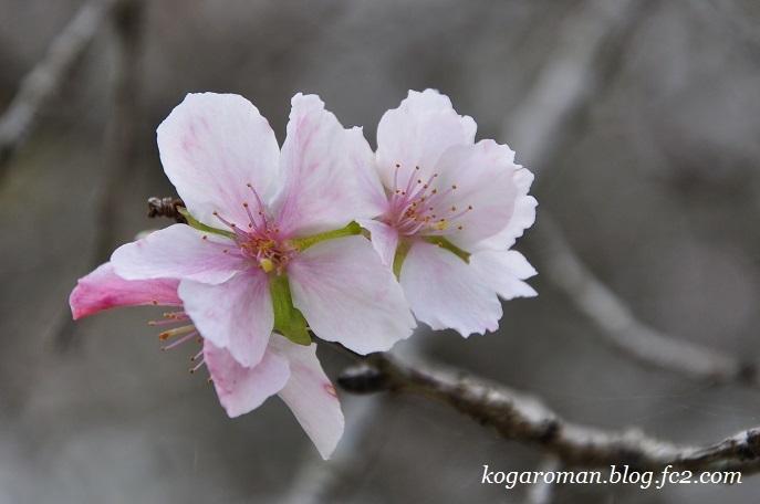 野木の公園で冬桜