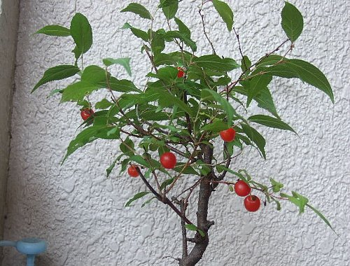コメ桜003