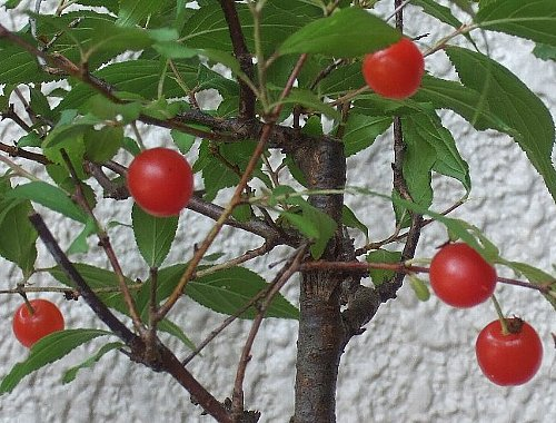 コメ桜002