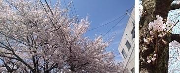 1704桜を (4)
