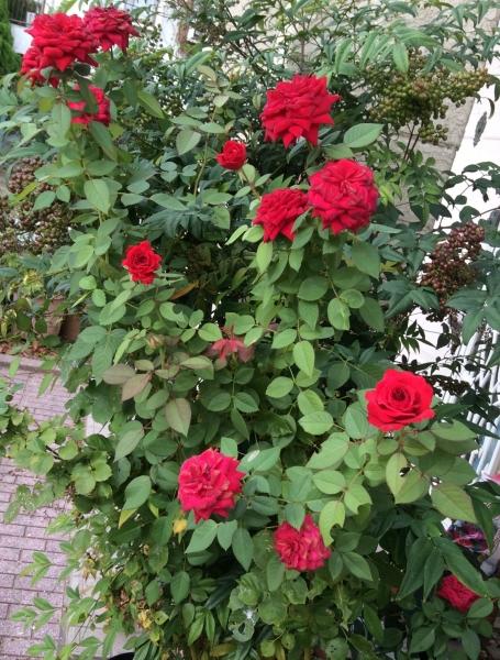 庭のバラ2017秋02
