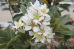 三原の白花