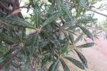 三原の緑葉