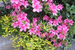 エステの赤花と黄花
