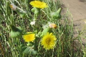 三川合流地点の黄花