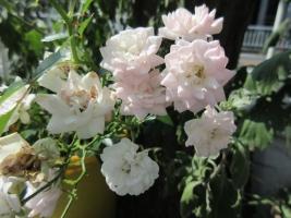 ボートピア横浜前のバラ