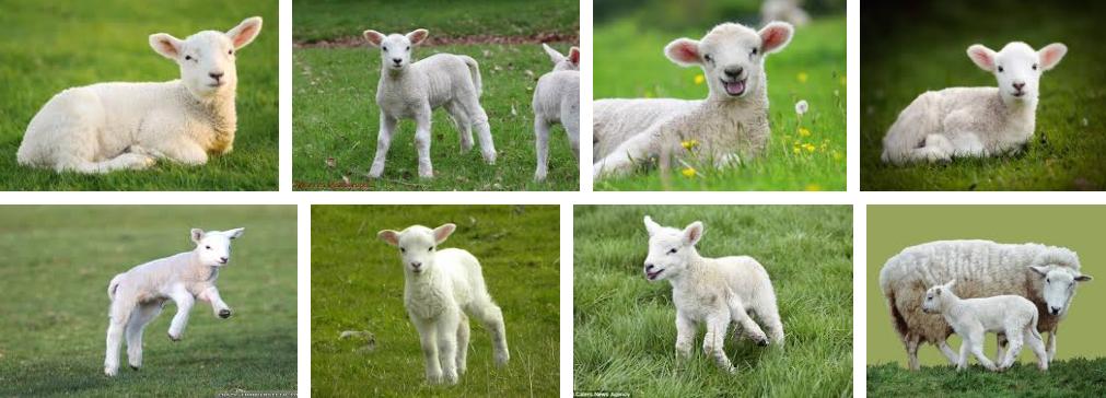 lamb Google 検索