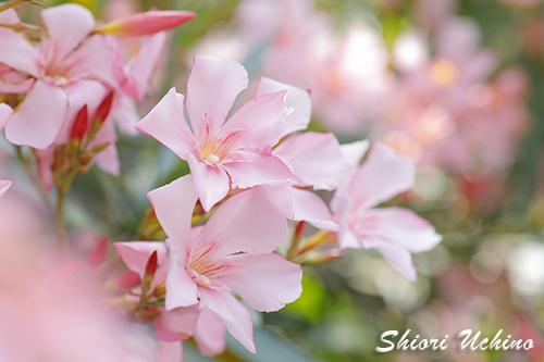 【キョウチクトウ(夾竹桃)_Nerium oleander var. indicum】
