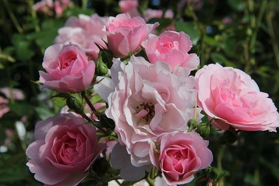 rose1b.jpg
