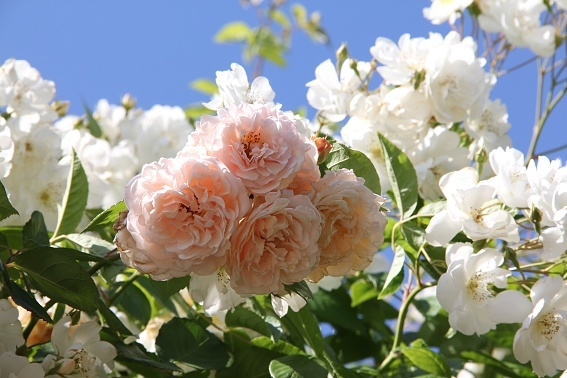 rose1d.jpg