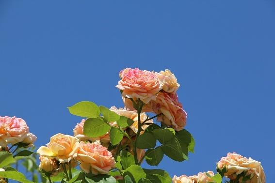 rose1e.jpg
