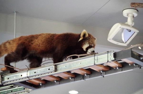 ホクト君 レッサーパンダ 赤パンダ 札幌市 円山動物公園