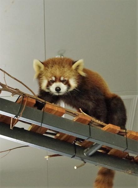 ホクト君 円山動物園 赤パンダ