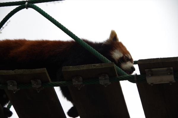 レッサーパンダ 赤パンダ 旭山動物園 旭川市 北海道遠征