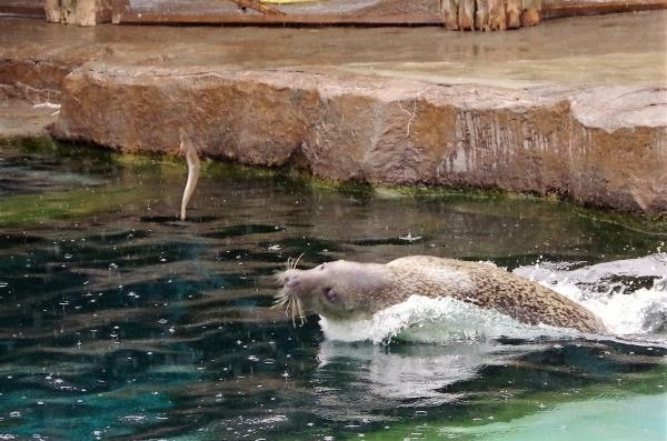 ゴマフアザラシ 旭山動物園 旭川市 北海道遠征